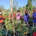 Jano Panen Perdana Tomat Pada Hari Ulang Tahunnya