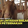 CSF Farm Bogor; Peternakan Kambing Modern Terintegrasi Bank Pakan